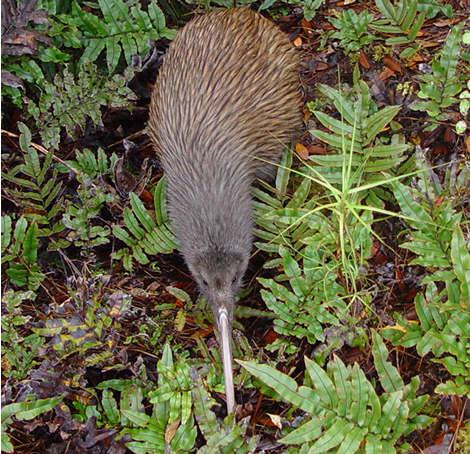 DSC07100 Kiwi on Stewart Island tpl
