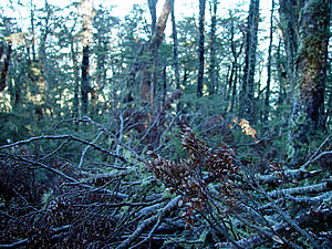 Snow damage to beech forest