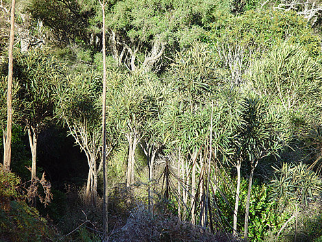 Lancewood saplings on Mt Bradley