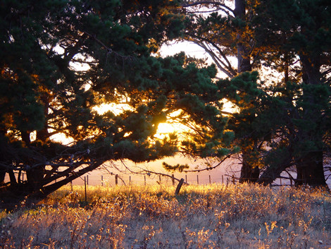 Sunset through the pines above Orton Bradley Park
