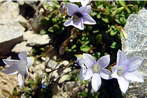 Harebells - Wahlenbergia gracilis