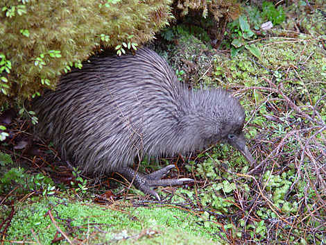 Kiwi probing for worms on the track to Rakeahua hut in Stewart Island (Stewart Island Tokoeka kiwi - Apteryx australis lawryi)